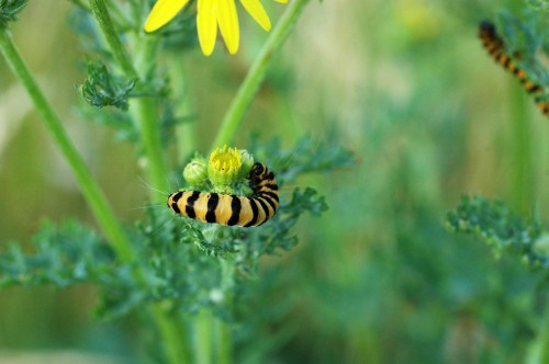 A large plump Cinnabar moth caterpillar snaked around a ragwort bud
