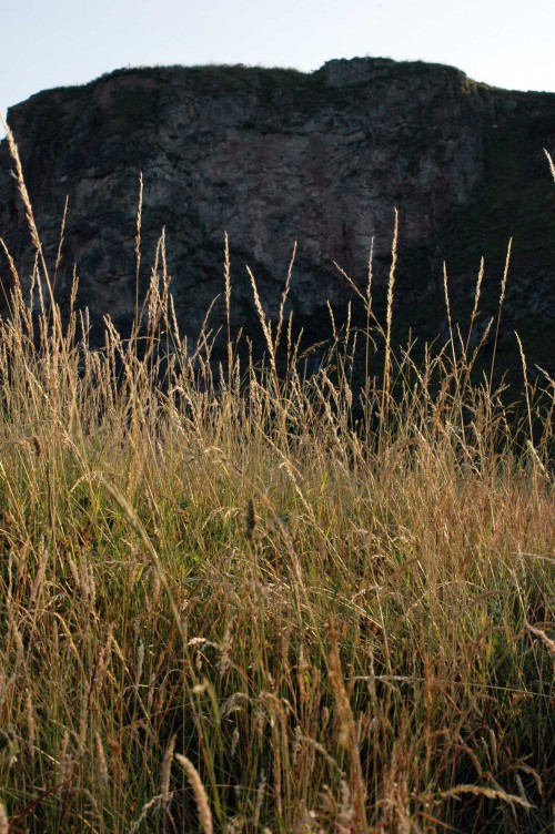 Long grass with cliff wall of the Little Orme behind