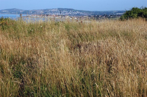 Long grass on the clifftop of the Little Orme with view to Rhos-on-Sea & Colwyn Bay behind