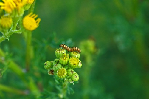 Small Cinnabar moth caterpillar on ragwort flower buds