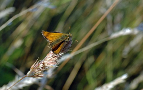 Another Small Skipper