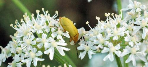 Sulphur beetle- Cteniopus sulphureus