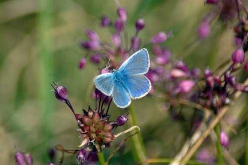 Male Common Blue butterfly on Keeled Garlic flower