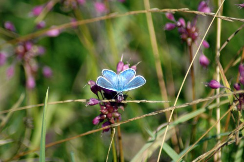 4/8/14 - Common Blue buttefly on Keeled Garlic flowers