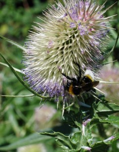 4/8/14 -Teasel flower with Buff-tailed bumblebee