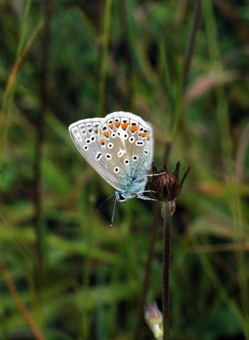 Common Blue male underside