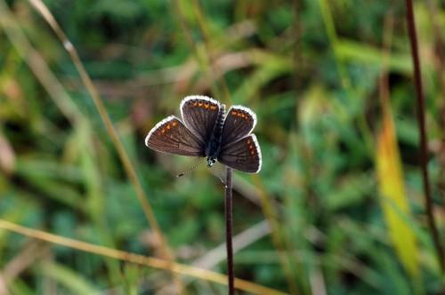 Brown Argus-