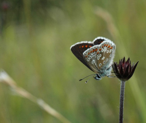 Brown Argus underside with 'figure of 8' spots on forewing