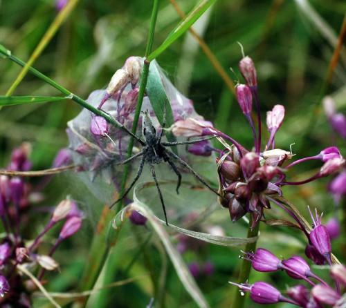 Nursery-web spider-