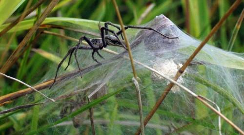A neighbouring Nursery-web Spider