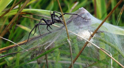 A neighbouring Nursery-web Spider