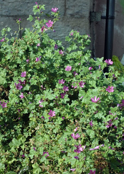 A large Common Mallow plant thrives in a sheltered corner