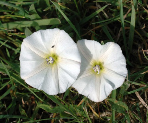Flowers are smaller than those of Large Bindweed