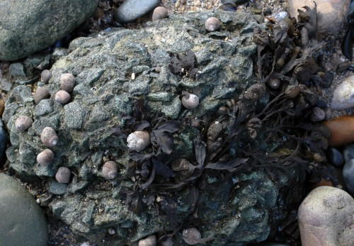 Textures in rock with periwinkles