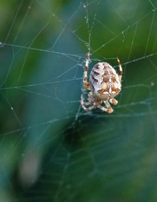 Garden Spider-Araneus diadematus