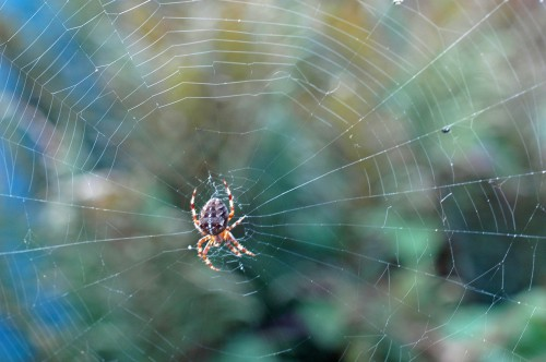 Garden Spider in centre of its orb web