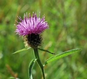 Common Knapweed-Centaurea