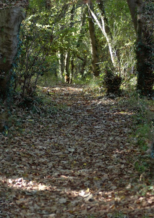 Sun-dappled woodland track covered with dry fallen leaves