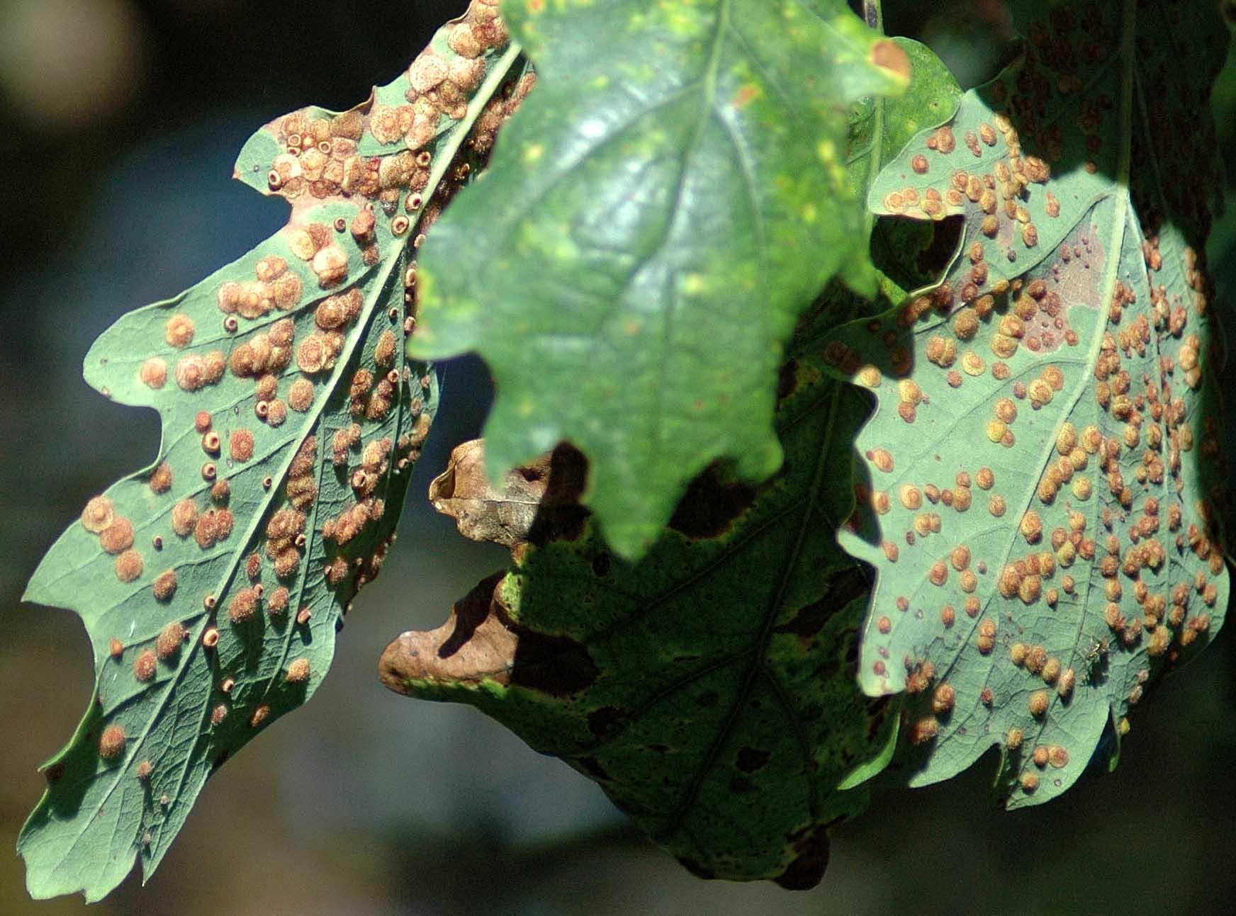 141002(17)TGNW-Bryn Euryn- Spangle galls on oak leaves