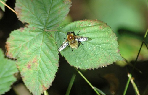 Cute insect looking like a small bee and behaving like a hoverfly