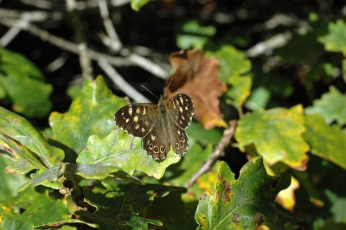 Speckled Wood basking on an oak leaf
