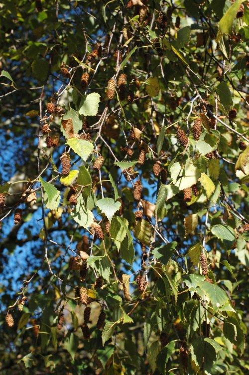 141002(26)TGNW-Bryn Euryn- Silver birch fruits