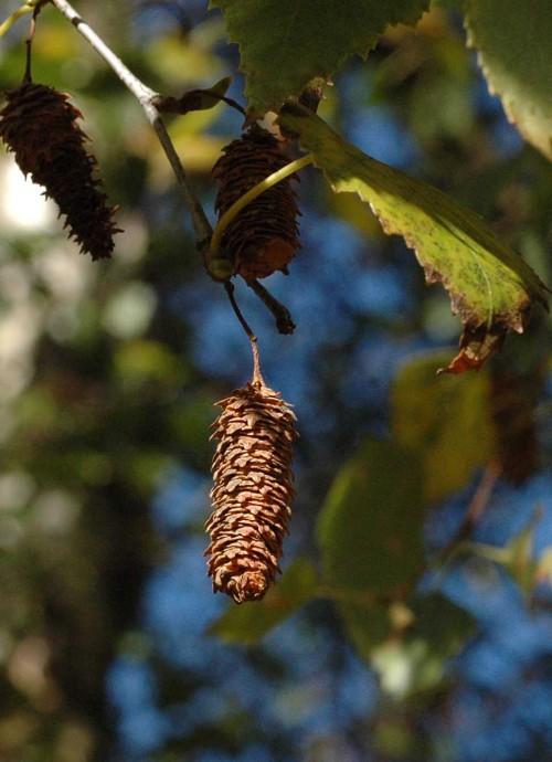 141002(27)TGNW-Bryn Euryn- Silver birch fruit
