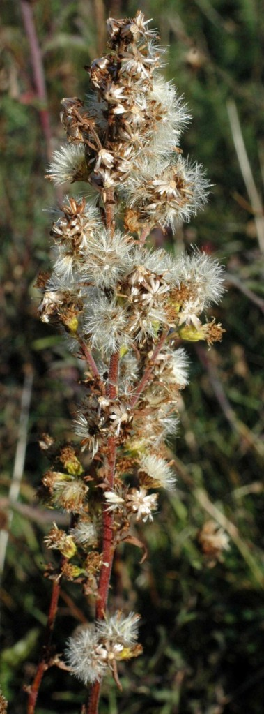 Goldenrod gone to seed