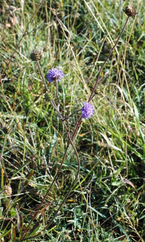 Scabious still flowering