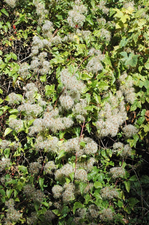 Fluffy seed heads of wild clematis or 'old man's beard'