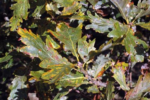 Oak leaves turning colour