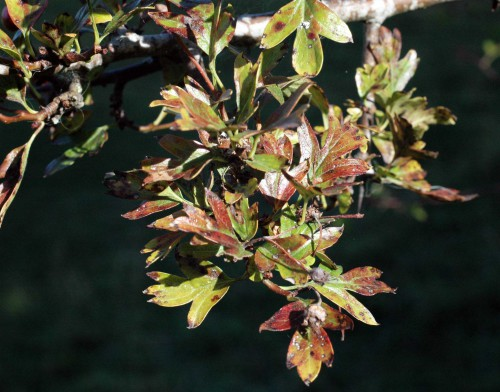 Hawthorn leaves also turning red