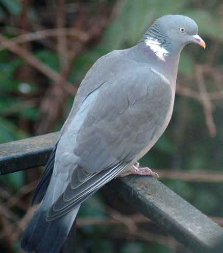 A handsome Wood Pigeon