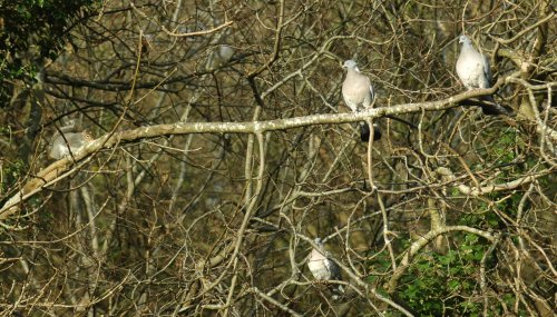 Wood Pigeons keep an eye on an approaching Grey Squirrel