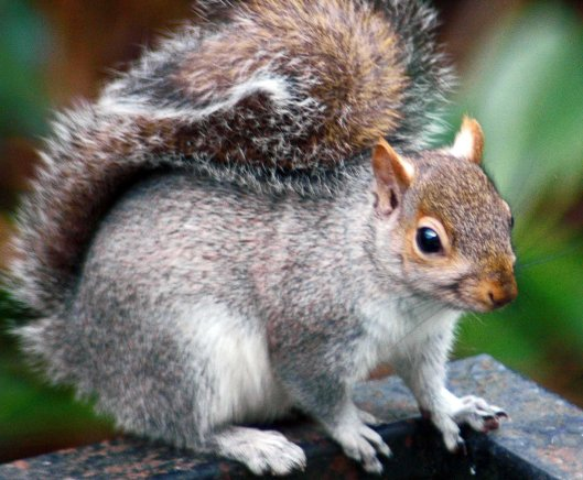 A photogenic Grey squirrel