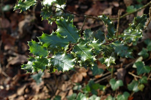 Shiny Holly leaves
