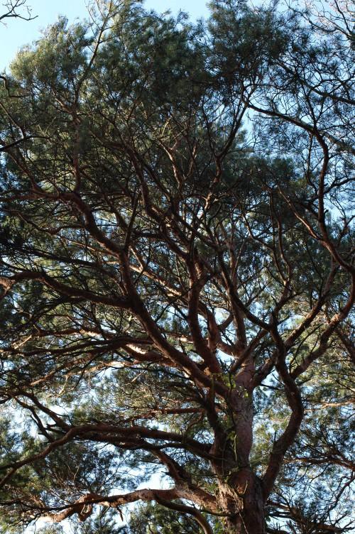 150104TGFL-Bryn Euryn 12-Scots Pine