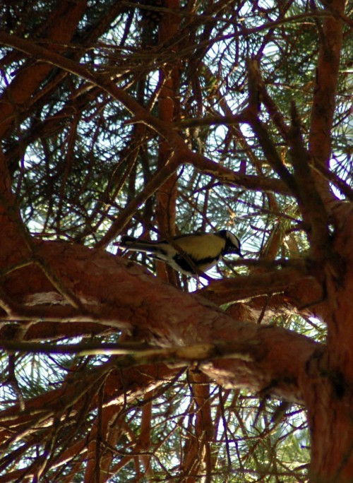 A Great tit in the pine tree