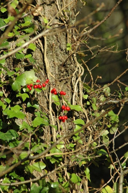 Red berries of nightshade strung like beads around ivy