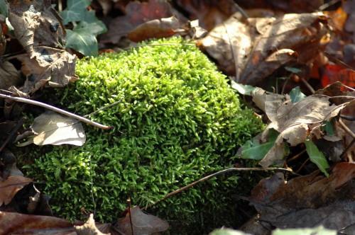 Vibrant green moss amongst dry brown leaves