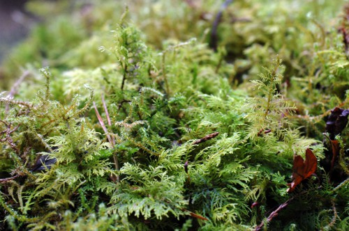 A close-up of  a fern-like moss