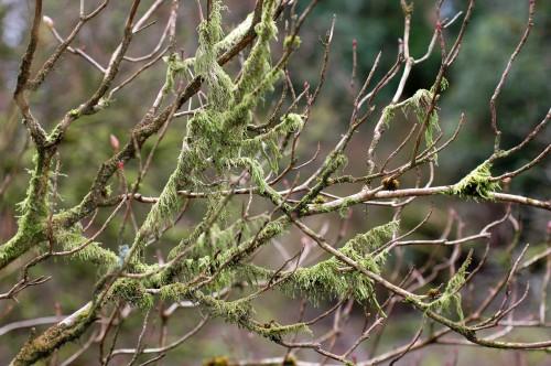 Lichen draped along twiggy branches