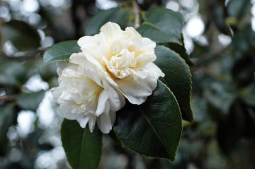 A gorgeous creamy white camellia