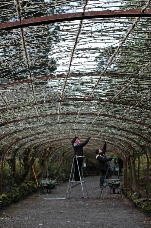 Pruning the laburnam arch