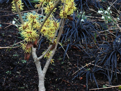 Wych Hazel underplanted with black grass and snowdrops