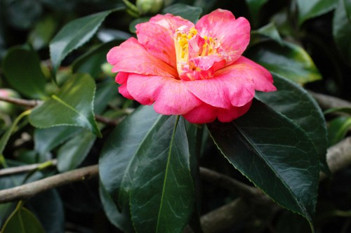 A pink camellia, past its best but still beautiful