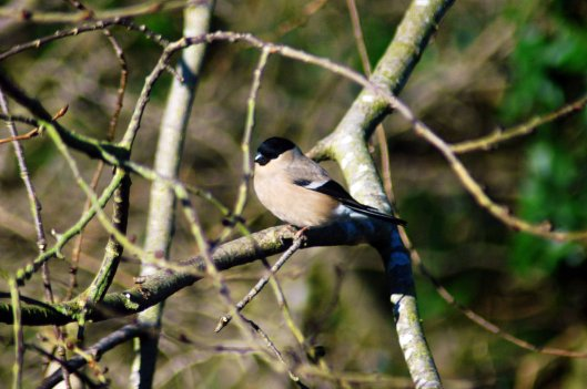 3/2/15-Bullfinch female