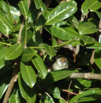 4/2/15-First glimpse of the female blackcap