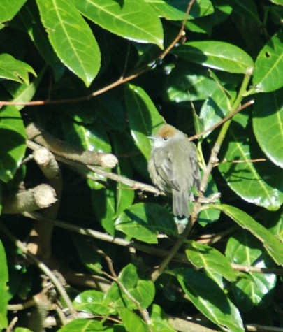 150204TGDC-Blackcap female first sighting this year (4)