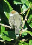 4/2/15-Blackcap female